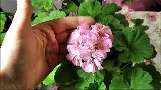 Пеларгония весной