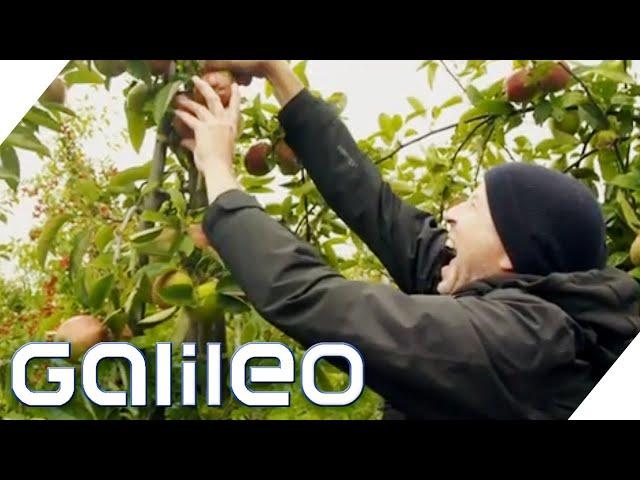 18 Mio. Apfelbäume: Wie hart ist die Ernte? | Galileo testet Berufe | ProSieben