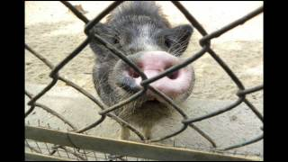 Micro Pigs - The Truth About Micro Mini Teacup Pigs as Pets; Micro Pig Information