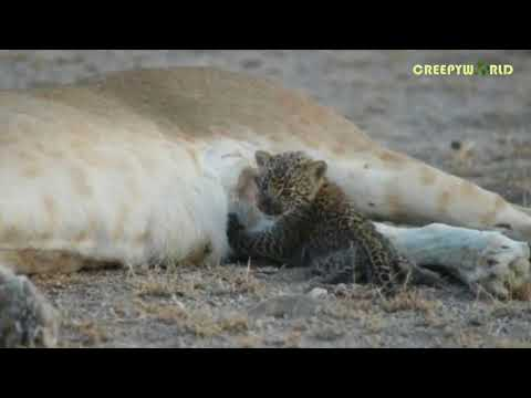 Rare Footage Captures Lioness Defying Science By Nursing An Orphaned Leopard Cub