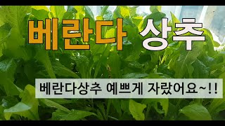 필레오베란다텃밭 # 베란다 상추가꾸기# 2번째영상