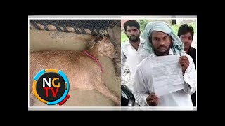 Pregnant goat dies after being gangraped by 8 men