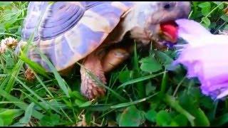 Blumenessende Schildkröte!