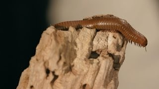 9 Florida Millipede Facts & Care Tips | Pet Tarantulas