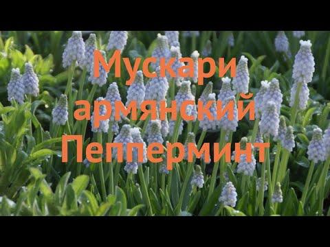 Мускари обыкновенный армянский Пепперминт 🌿 обзор: как сажать, луковицы мускари армянский Пепперминт