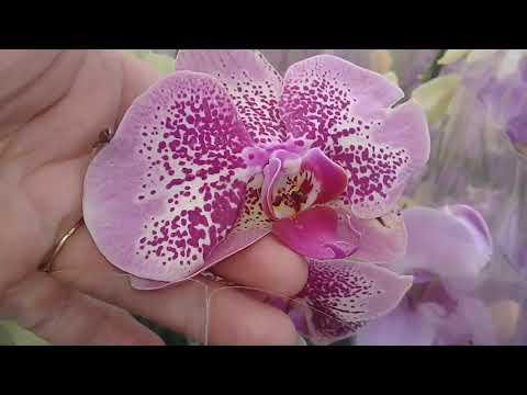 КРАСНОДАР,  /НОВЫЙ Т.Ц./орхидеи,фиалки,бегонии и многое другое