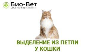 Выделение из петли у кошки. Ветеринарная клиника Био-Вет.