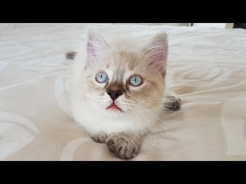 Ragdoll Cat - Gato - Katze - Кот - Chat - Коте Регдол - 抹布貓 , Imagine Dragons - Thunder