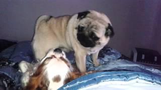 Pug Cavalier