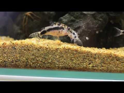 Just Aquascaping - Breeding Corydoras