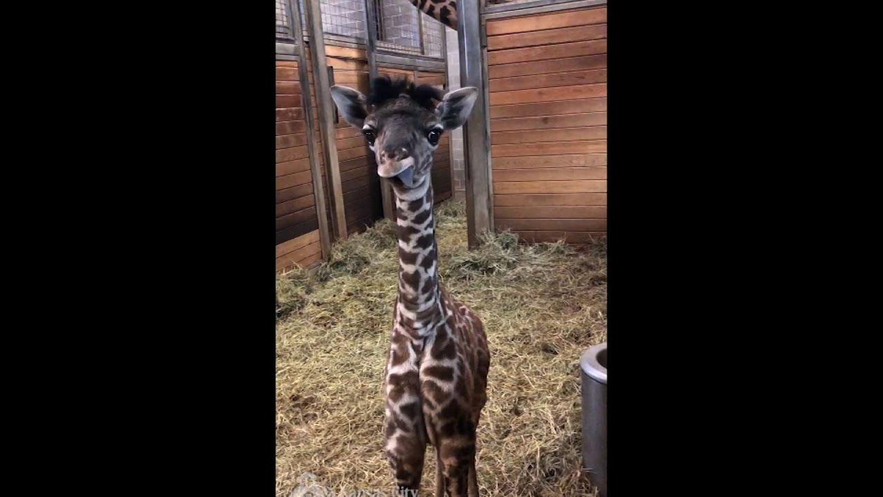 Vellidte Kansas City Zoo Welcomes 5-foot Baby Giraffe - YouTube UW-75