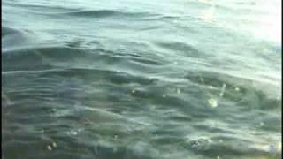Shark attacks Halibut