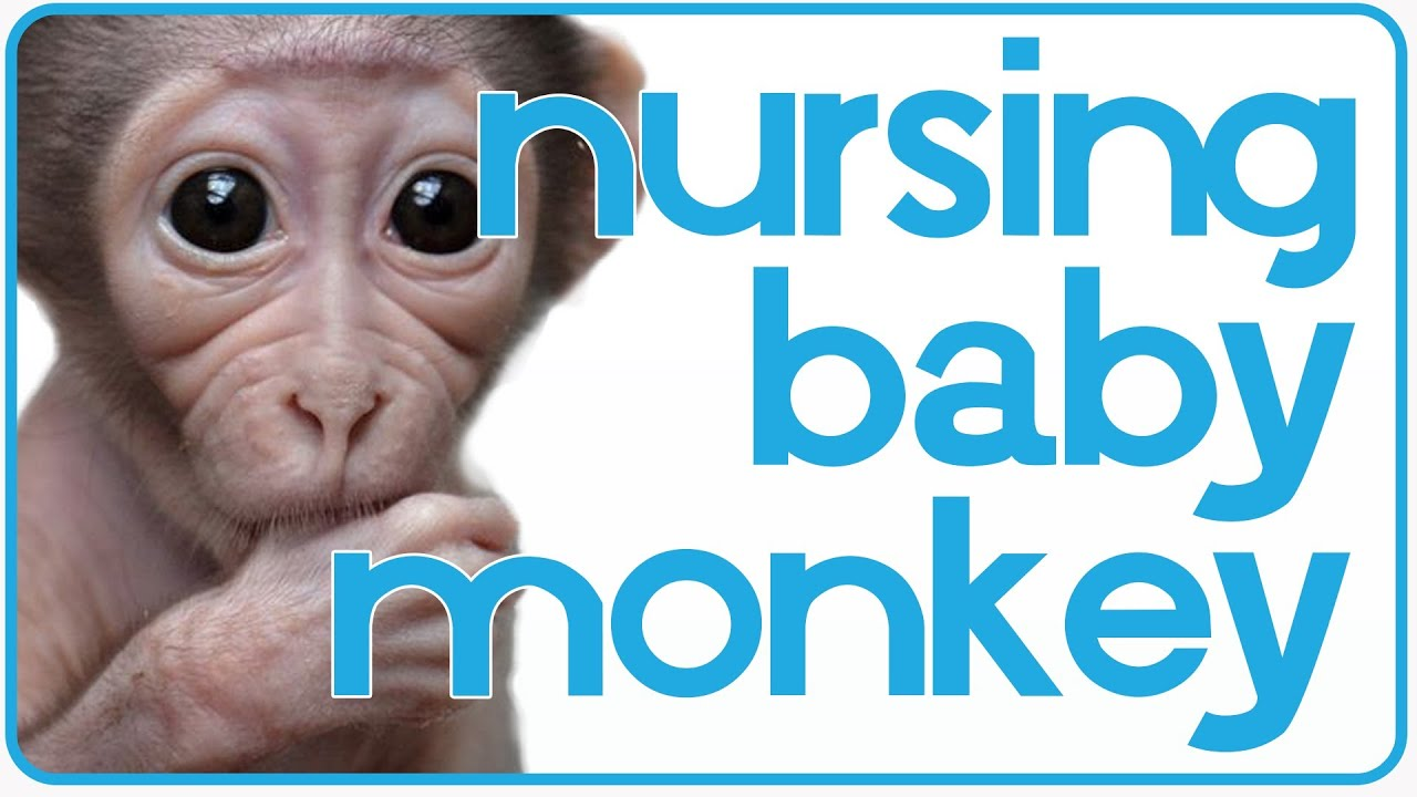 baby monkey wants to nurse adorable baby monkey wants to nurse adorable