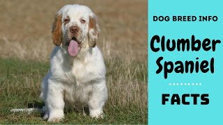 Clumber Spaniel dog breed. All breed characteristics and facts about Clumber Spaniel dogs