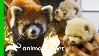 Red Panda Gives Birth To Adorable Cubs | The Zoo