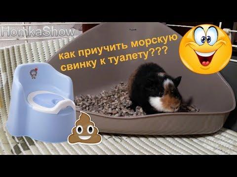 Приучаем Морскую Свинку к Туалету /ПРОВЕРЕННЫЙ СПОСОБ #HomkaShow