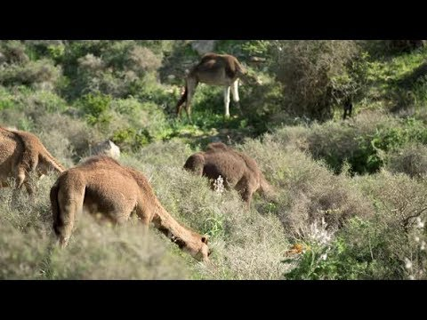 Morocco Camel07   Stock Footage - Videohive
