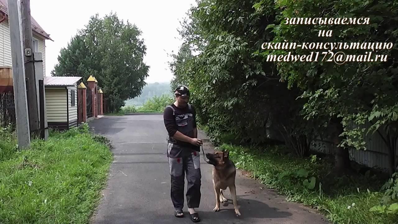 как научить собаку гулять на поводке