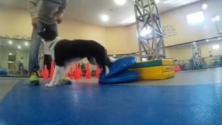 Физическая подготовка спортивной собаки