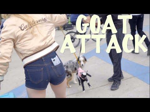 Dog Attacks Goat Youtube