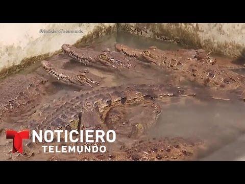 Mueren decenas de cocodrilos en Honduras, de la familia Rosenthal | Noticiero | Noticias Telemundo