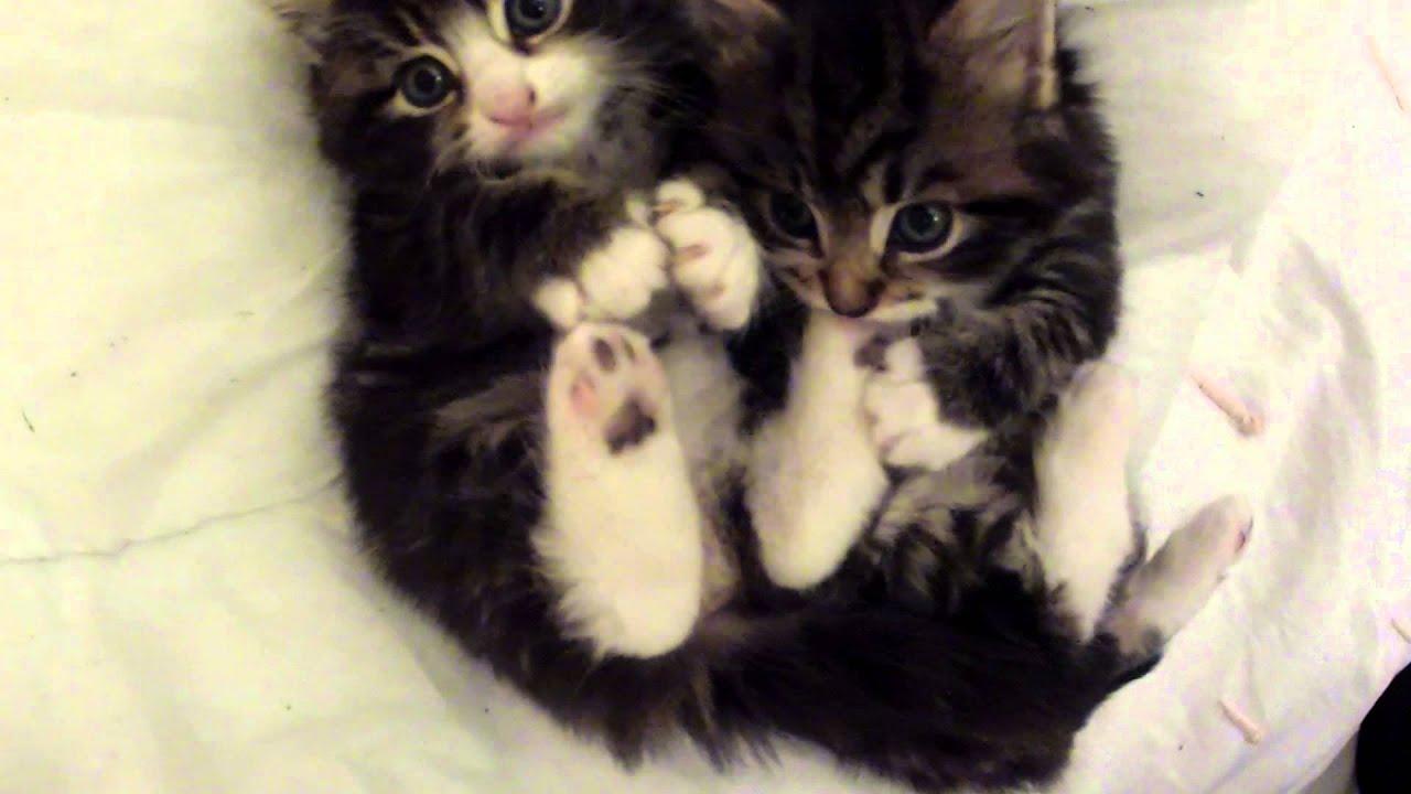 Cute Tabby Kitten s SMALL KITTENS