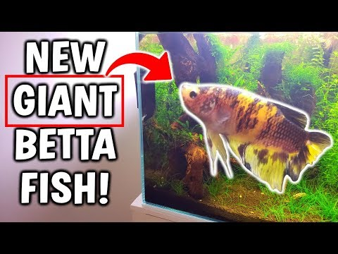 New GIANT Betta Fish! Added To Perfect Betta Aquarium