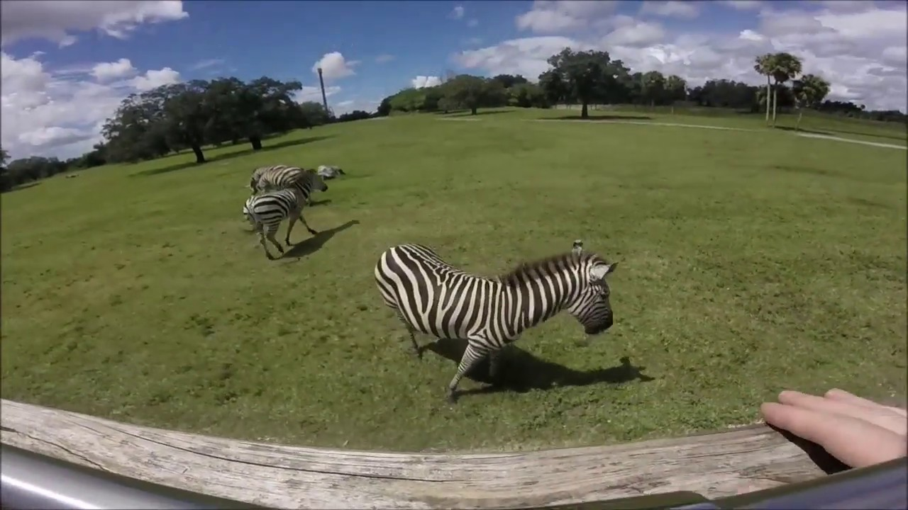 Busch Gardens Tampa Serengeti Safari Tour GoPro POV YouTube