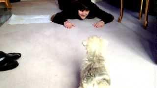 Alfie - The Chonzer Puppy (miniature Schnauzer X Bichon Frise)
