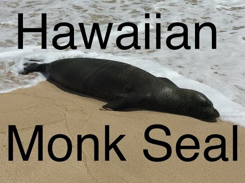 Hawaiian Monk Seal Swallows Hook!