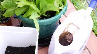 Seedling Potted Avocado Tree Goes Berko On a Compost Pod