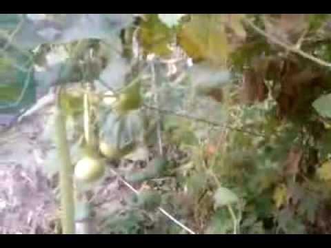 Кубышка в садовом пруду -
