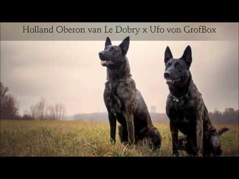 Bella Sama Owczarek Holenderski Szczenięta. Dutch Shephard Puppies