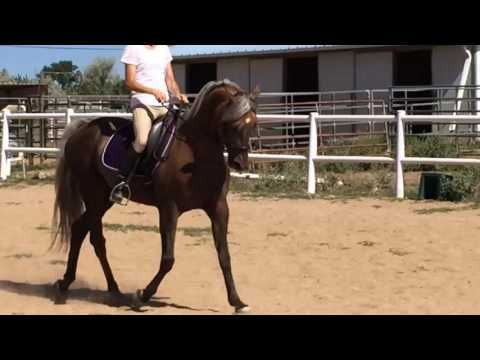 Beyond the light - Morgan horse for sale
