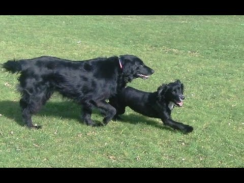 Cockers Finlay & Murphy with Merry Flat Coat Retriever.