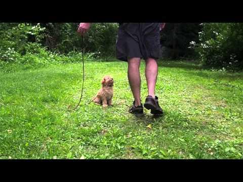 Cavachon puppy in training