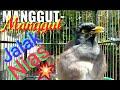Jalak Nias Manggut Manggut Di Pinggir Jalan  Mp3 - Mp4 Download