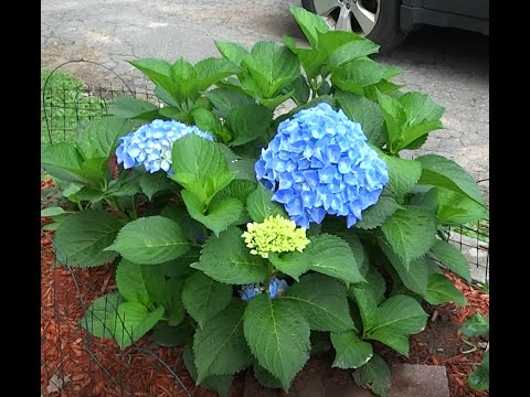 An Easy Guide For Pruning Hydrangea Plants