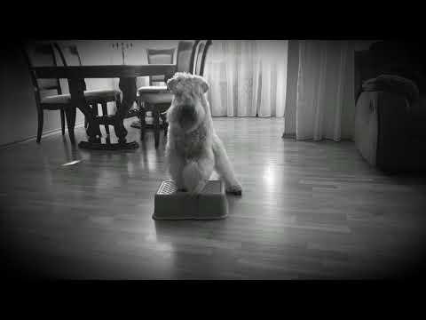 Soft Coated Wheaten Terrier learning