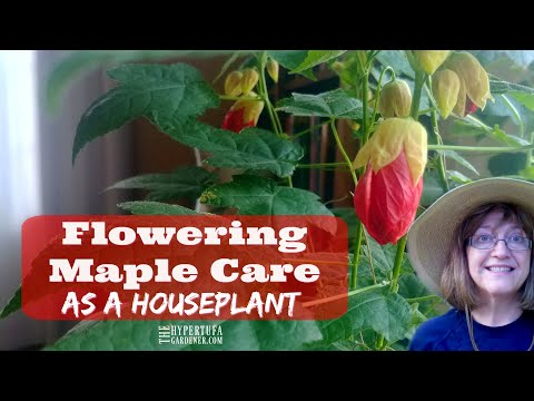 My Most Blooming Houseplant - Abutilon Or Flowering Maple - Now To Root Some Cuttings!