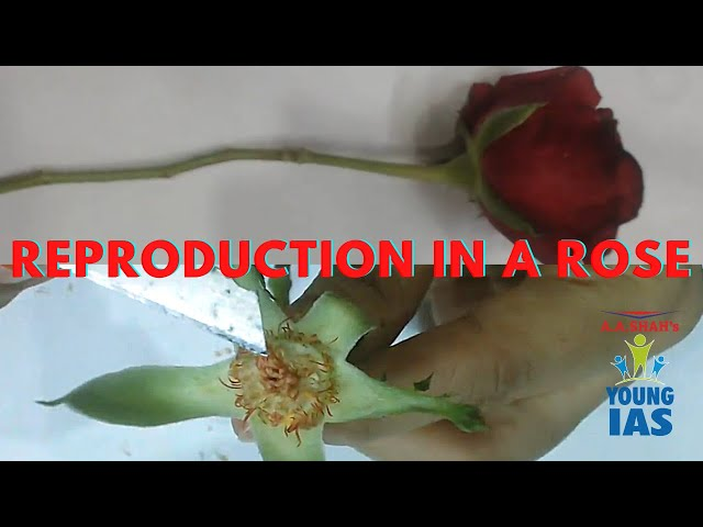 Sexual Reproduction in Flowering Plants Class 10 hindi | Rose bisexual flower | Rose whorls