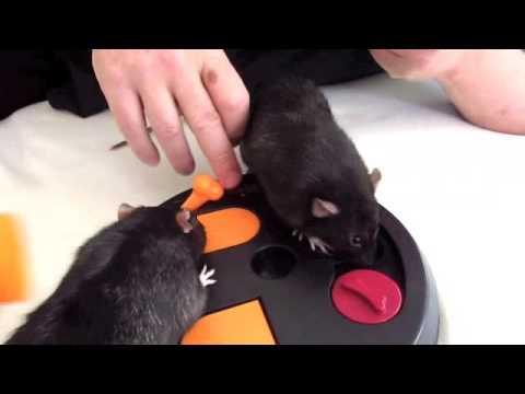 Meine Ratten und das Intelligenzspielzeug