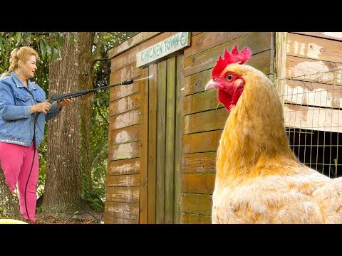 How to clean your coop so you don't get sick chickens.