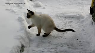 Прогулки тайских котиков Немо и Лукаса по снегу в огороде! Тайские кошки - это чудо! Funny Cats