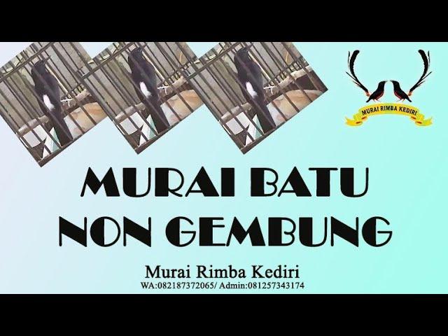 Muraibatu non gembung _ MRK