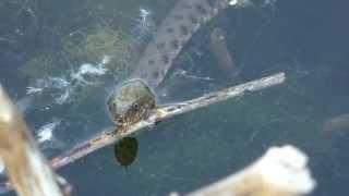 Гадюка охотиться под водой на рыб
