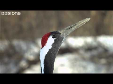 Japanese Cranes surrounded by predators in Japan (Narrated by David Tennant) - Earthflight - BBC One