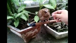 Burung Hantu peliharaan lepas saat diberi makan (Baby Owl flew away as fed)