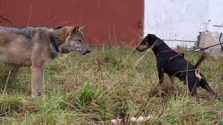 Ягдтерьер Грызлик очаровывает волчицу