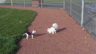Maltese Bichon Mix Stay 2 Vs Chihuahua